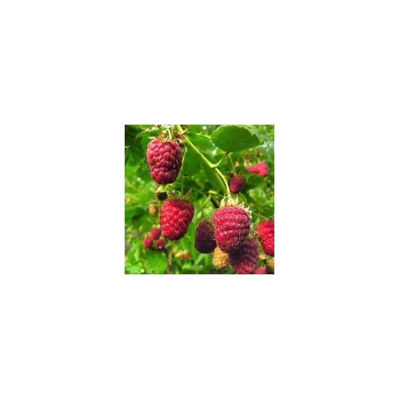 """Lampone rosso """"Malling promise"""" (Rubus idaeus)"""