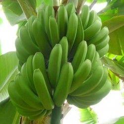 Banano Enana Canaria (Musa Cavendish)