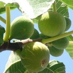 Fico Colummaro bianco (Ficus Carica)