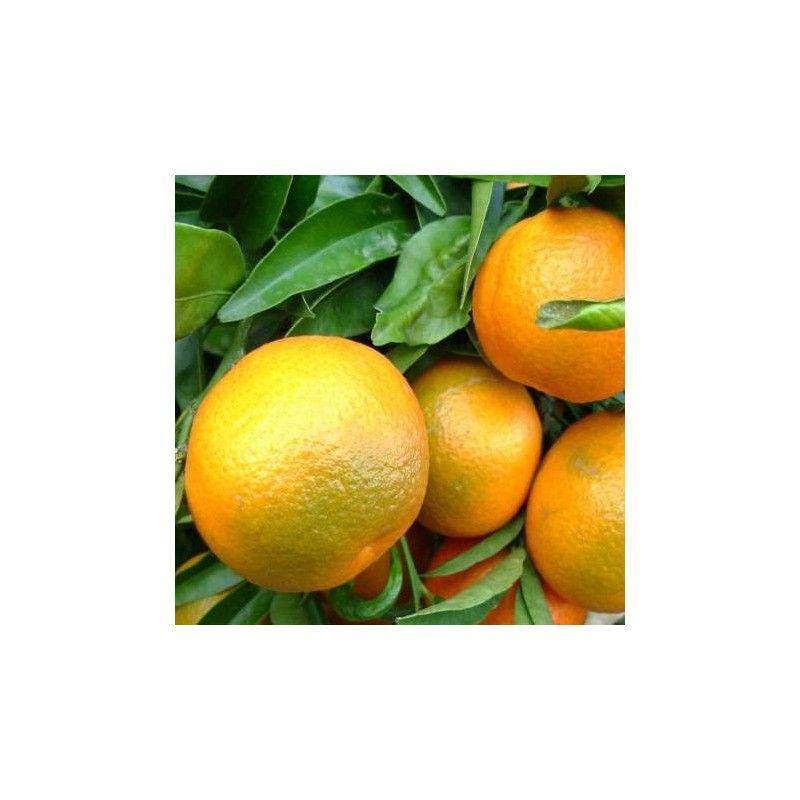 Clementine Corsica 2 (Ibrido Mandarino-Arancio)