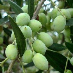 Olivo Koroneiki
