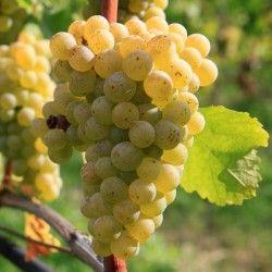Vite da vino Sangiovese