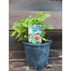 """Lampone Artico """"Sofia"""" (Rubus Arcticus)"""