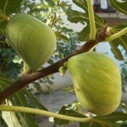 Fico Paradiso (Ficus Carica)