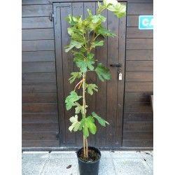 Fico Dalmatie (Ficus Carica)