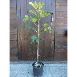 Fico Melanzana (Ficus Carica)