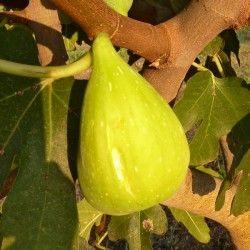 Fico Melanzana Bianco (Ficus Carica)