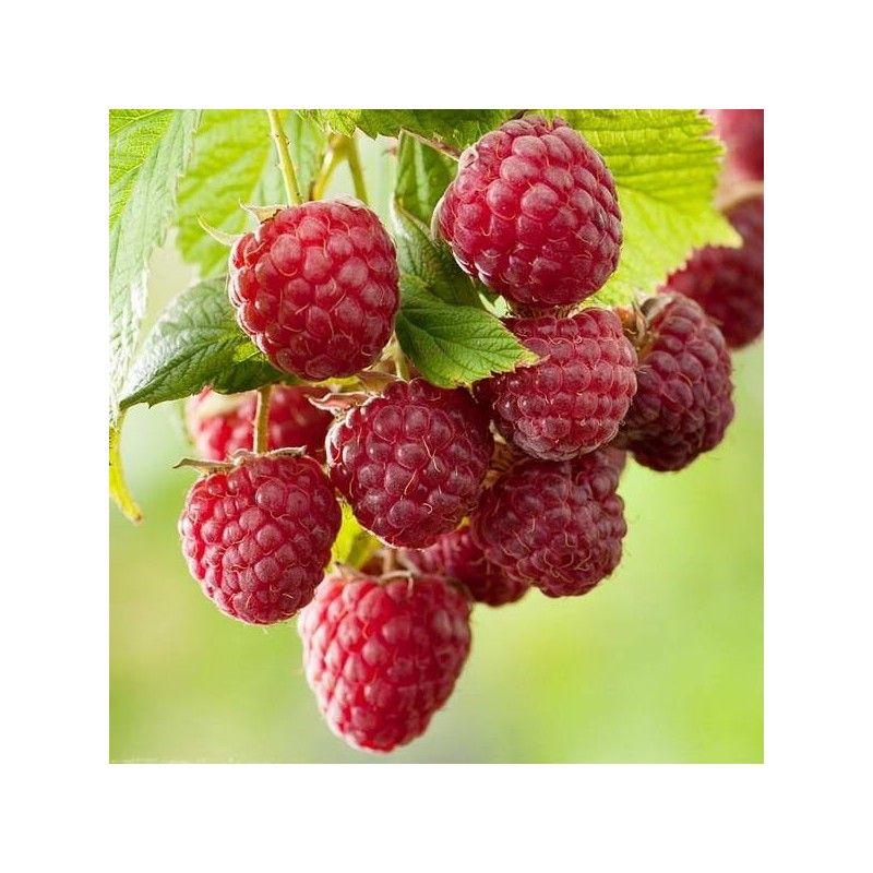 """Lampone rosso """"Heritage"""" (Rubus idaeus)"""
