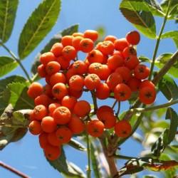 Sorbo degli uccellatori (Sorbus Aucuparia)