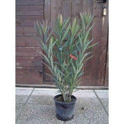 Oleandro (Nerium Oleander) - GIALLO
