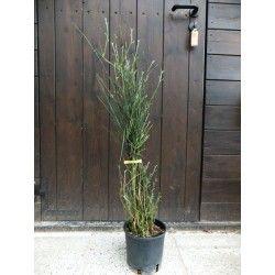 Ginestra di Spagna (Spartium junceum)