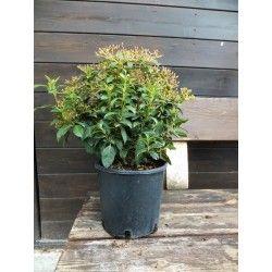 Viburno Tino (Viburnum tinus)