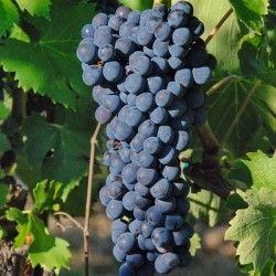 Vite da vino Aleatico