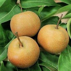 Nashi Kosui (Pyrus Pyrifolia)