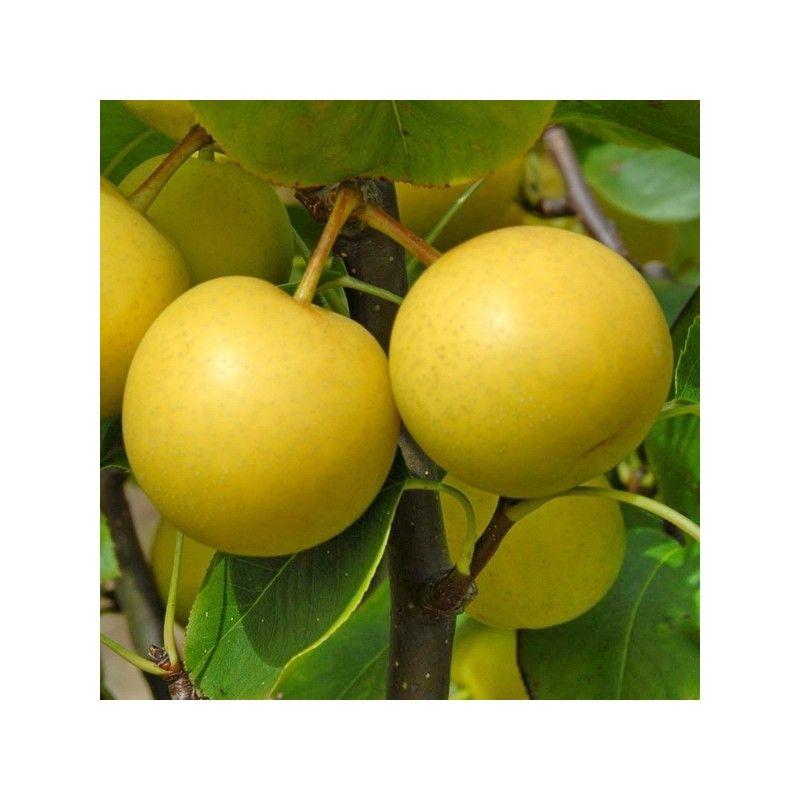 Nashi Nijisseiki (Pyrus Pyrifolia)