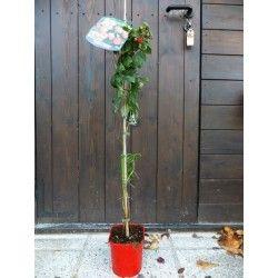 "Lampone rosso ""Ottawa"" (Rubus idaeus)"
