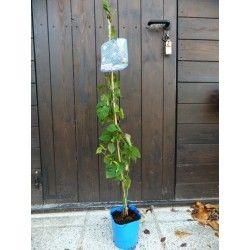 """Mora """"Arapaho"""" (Rubus fruticosus)"""