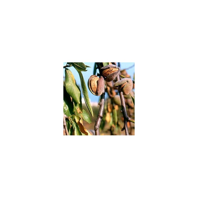 Mandorlo Genco (Prunus Dulcis)