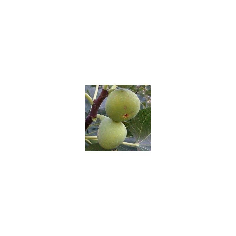 Fico Verdone (Ficus Carica)