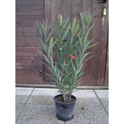 Oleandro (Nerium Oleander) - ROSA