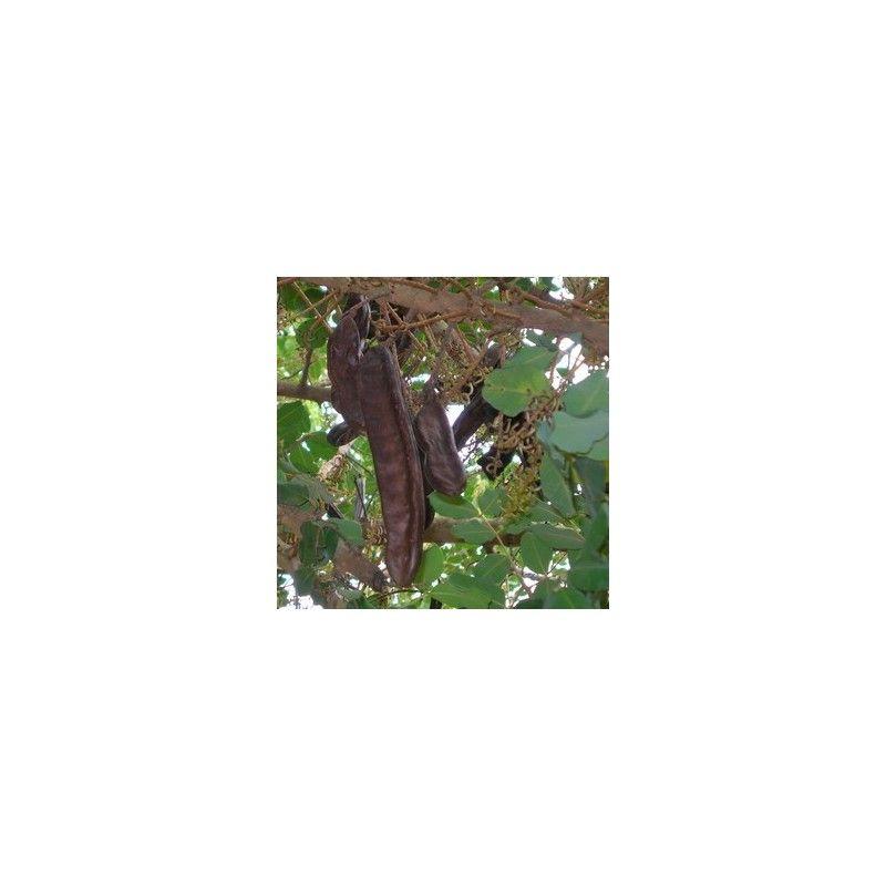 Carrubo (Ceratonia Siliqua)