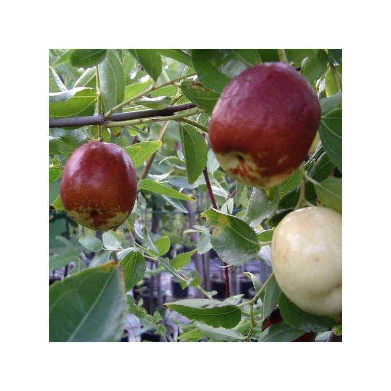 Giuggiolo Gigante a mela (Zizyphus Vulgaris)