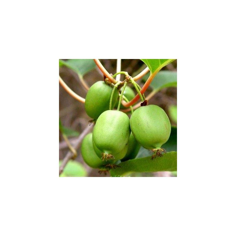 Actinidia arguta Issai (minikiwi)