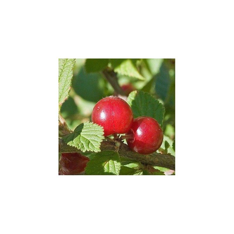 Ciliegio di Nanchino (Prunus tomentosa)