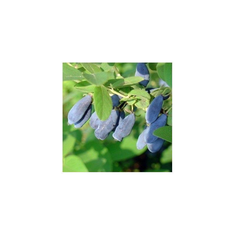 Mirtillo siberiano (Lonicera caerulea Kamtshatica)