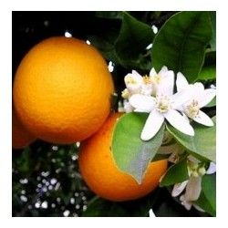 Arancio (Citrus Sinensis)
