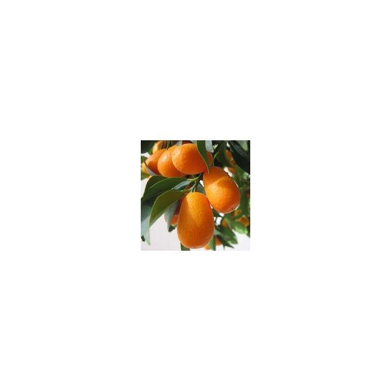 Kumquat (Fortunella Margarita)