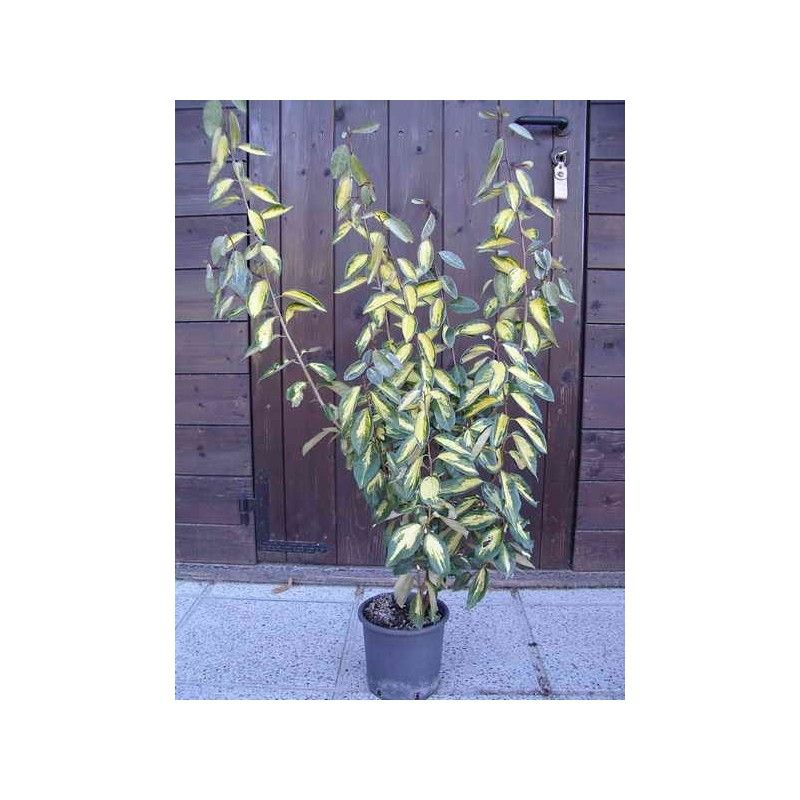 Oleandro (Nerium Oleander) - SALMONE