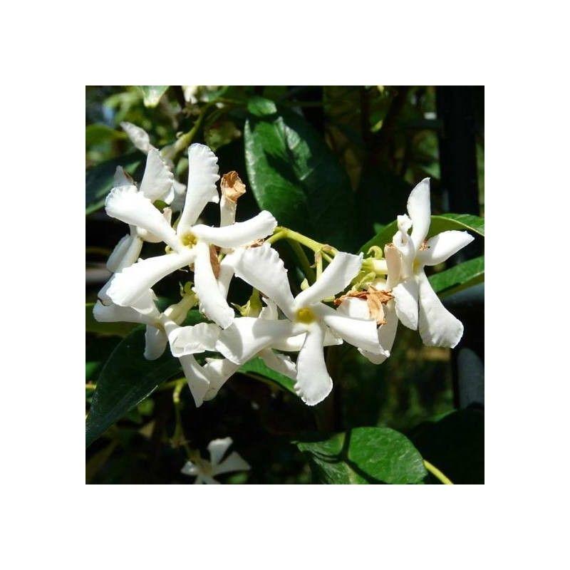 Pittosforo (Pittosporum Tobira)