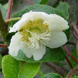 Actinidia (Actinidia chinensis) Maschio