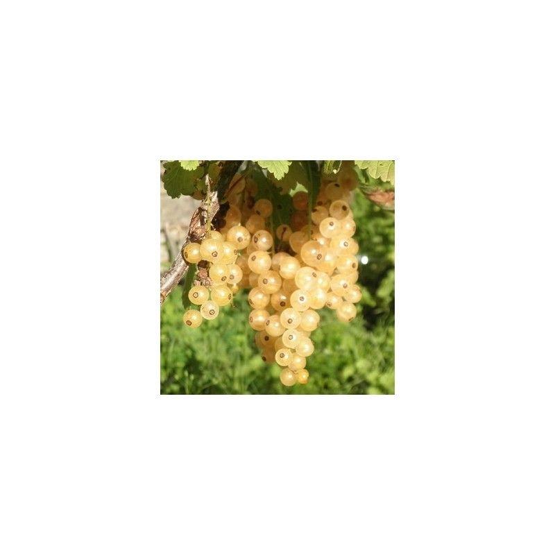 Ribes bianco (Ribes rubrum)