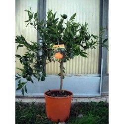 Mandarino (Citrus Deliciosa)