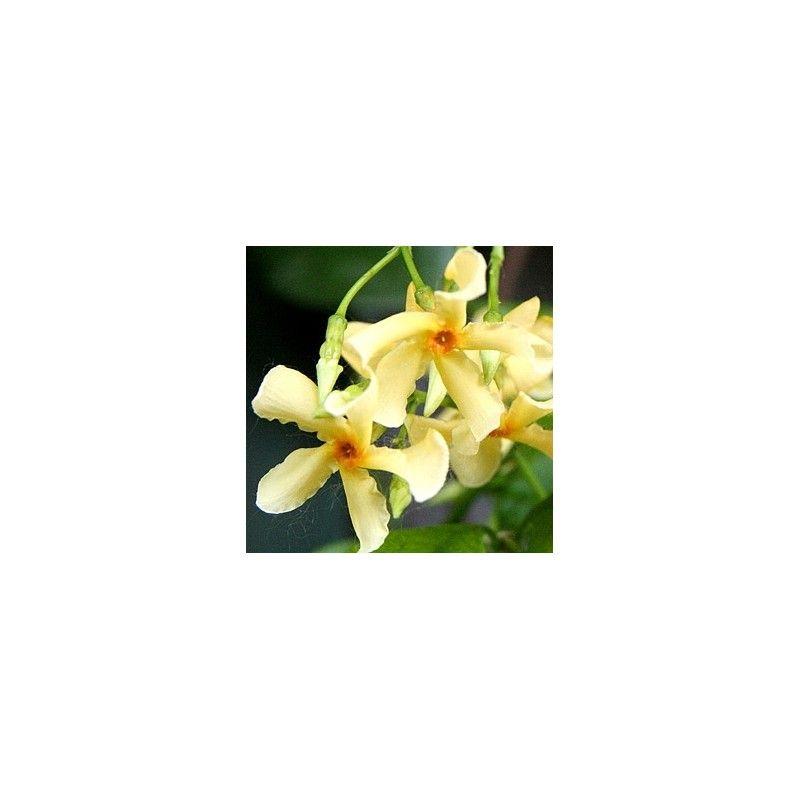 Rincosperma giallo (Rhyncospermum j. aurea)