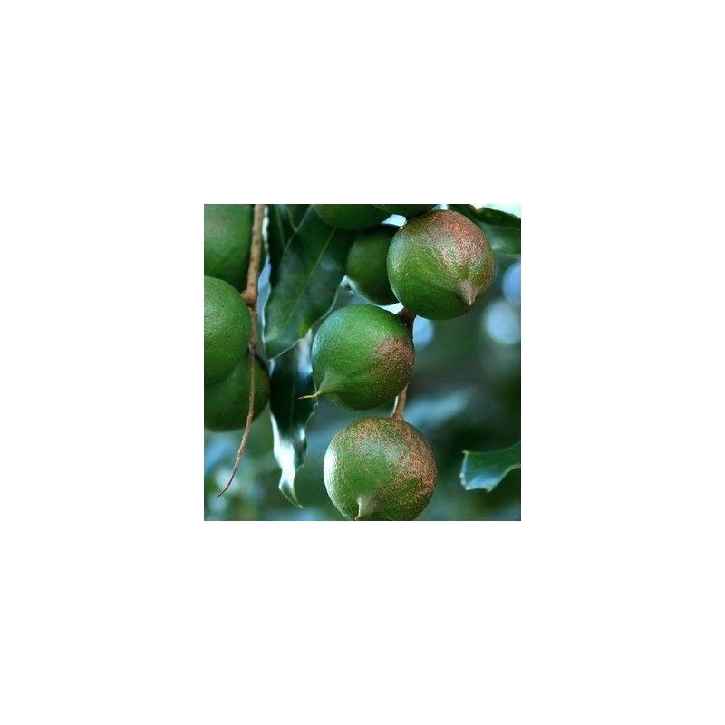 Noce del Queensland (Macadamia tetraphylla)