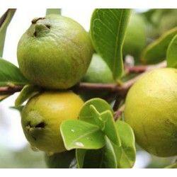 Guava peruviana (Psidium littorale)