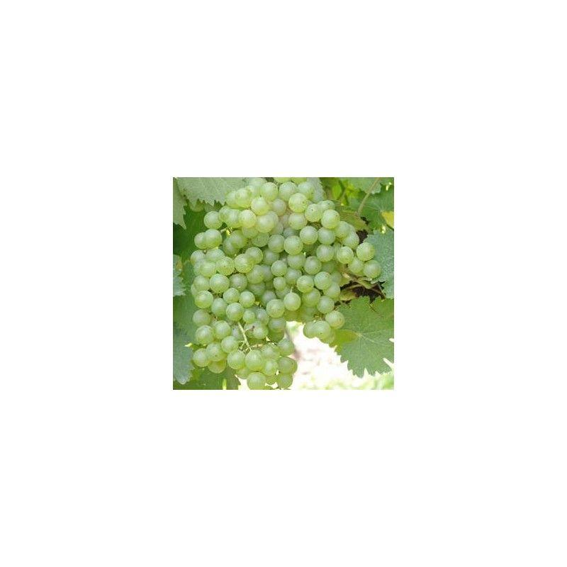 Malvasia bianca di Candia